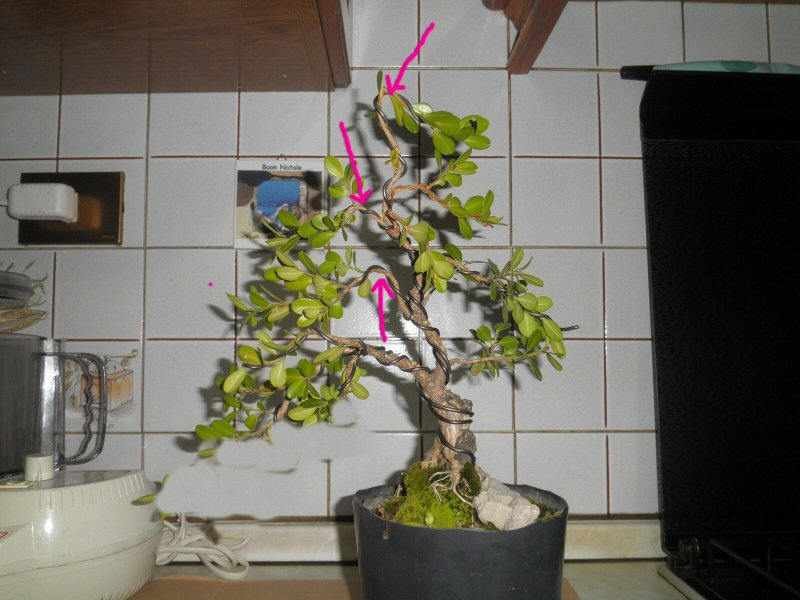 pianta di bosso - Pagina 2 P6070010