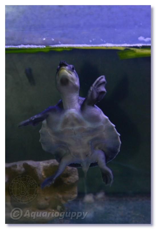 Carettochelys insculpta Ci0110