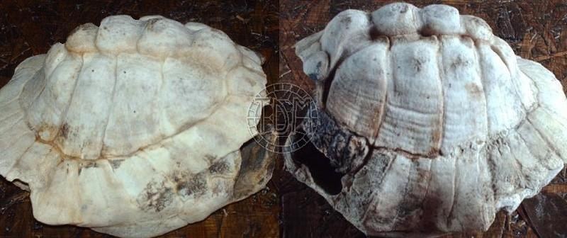 Les maladies principales chez les tortues Tobler10