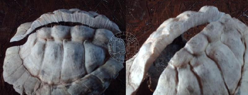 Les maladies principales chez les tortues Tobler11