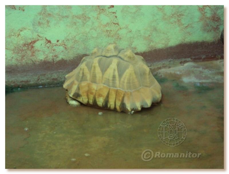 Astrochelys yniphora Ynii0110