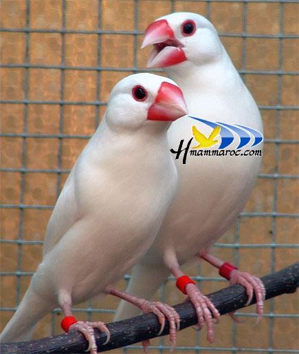 صور طائر الجولديان فينش 2410