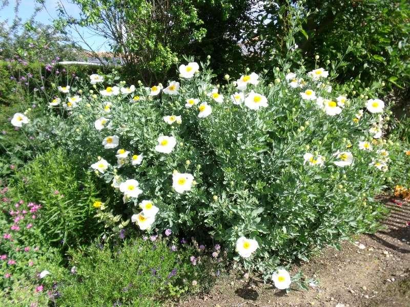 Mon Romneya en fleurs Dscf1514