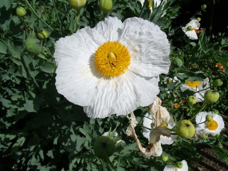 Mon Romneya en fleurs Dscf1515