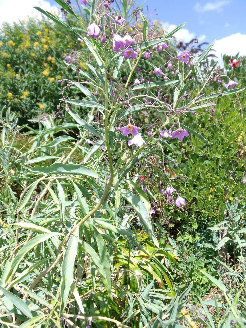 Solanum glaucophyllum - solanum à feuilles glauques Dscf1610