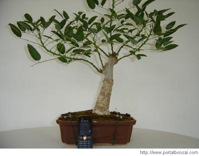 Erythrina crista-galli E_bons10