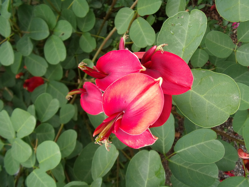 Erythrina crista-galli - Page 2 Fleurs12