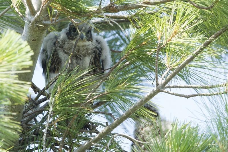 À quelle espèce d'oiseau de proie sont ces jeunots ? Rapace12