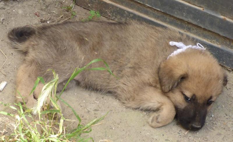 RICCY, chiot femelle, née en avril 2016 (Pascani)- REMEMBER ME LAND(DCD) 13498011