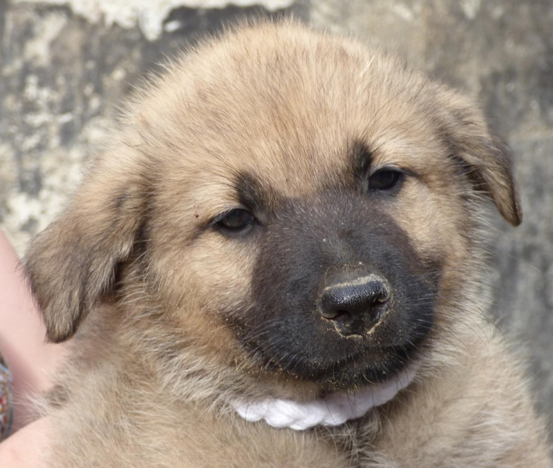 RICCY, chiot femelle, née en avril 2016 (Pascani)- REMEMBER ME LAND(DCD) 13522810