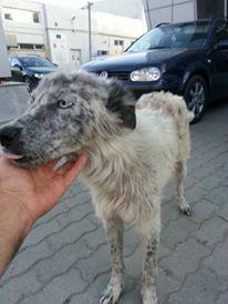LILI-BLUE (ex BLUESKY),  femelle, sourde aux yeux vairons croisée nordique, taille moyenne, née en 2013(Pascani)- adoptée par Sabrina (34) 13814610