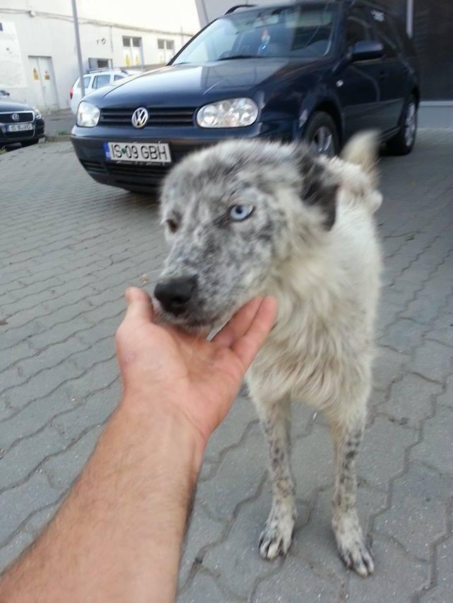 LILI-BLUE (ex BLUESKY),  femelle, sourde aux yeux vairons croisée nordique, taille moyenne, née en 2013(Pascani)- adoptée par Sabrina (34) 13815212