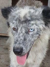 LILI-BLUE (ex BLUESKY),  femelle, sourde aux yeux vairons croisée nordique, taille moyenne, née en 2013(Pascani)- adoptée par Sabrina (34) 13866510