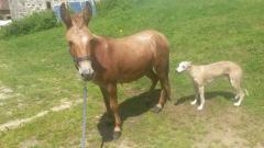 DIABLOTINE - ONC Mule née en 2014 - adoptée en juin 2016 par Amélie 20160618
