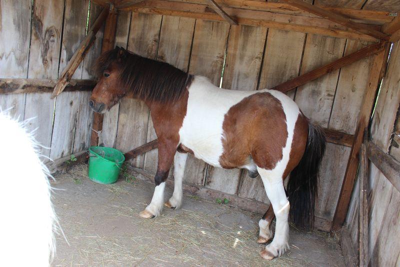 PIPO - Poney OI typé Shetland né en 1990 - adopté en septembre 2009 par Justine et Janine Img_1811