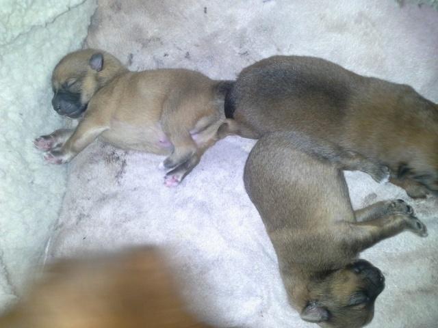 bébé de mes chiens et leurs parents 10115310