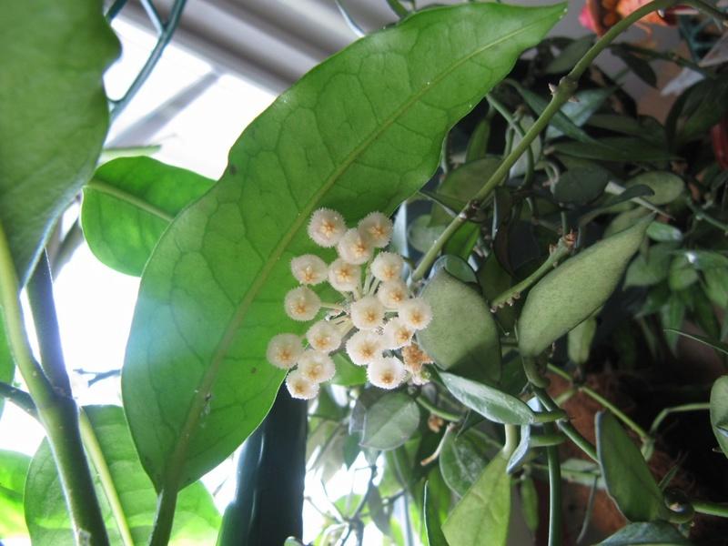 Floraisons Hoya_l14