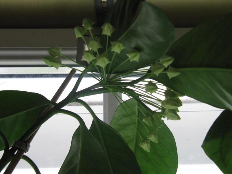 Floraisons Hoya_m10