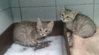 4 chatons gris tigrés, 2 et 4 mois, Var 2_chat13