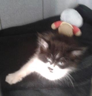 1 chaton mâle, 1mois 1/2, Var Chaton11