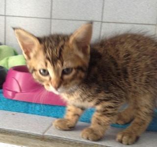 1 chaton roux, mâle, 2 mois et demi, Var Chaton13