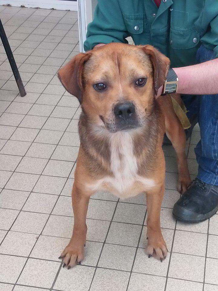 TOMm croisé labrador male 5 ans ( 2 ans  de refuge) - Refuge du Mordant à Toul (54) 13435810