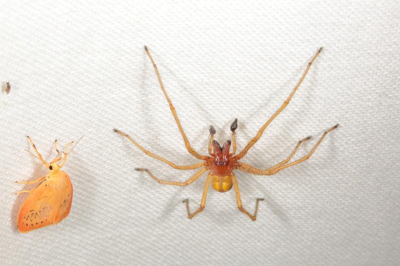 Cheiracanthium punctorium 9g2a6211