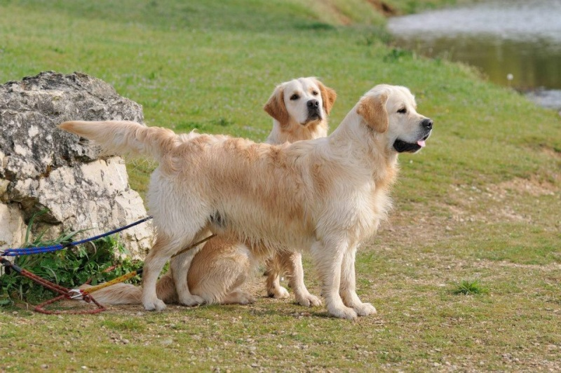 Le Golden Retriever 52843810