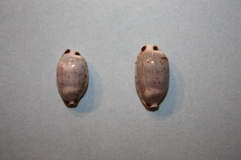 Bistolida hirundo hirundo - (Linnaeus, 1758) Bistol10