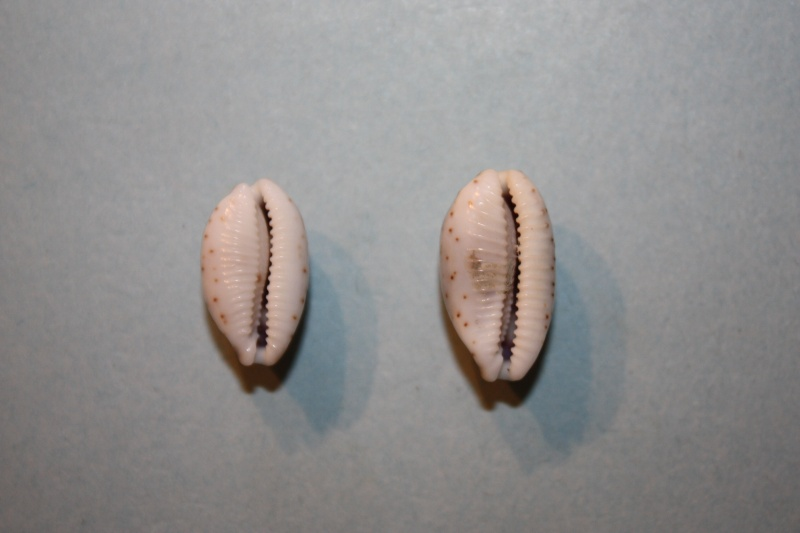 Bistolida hirundo hirundo - (Linnaeus, 1758) Bistol11