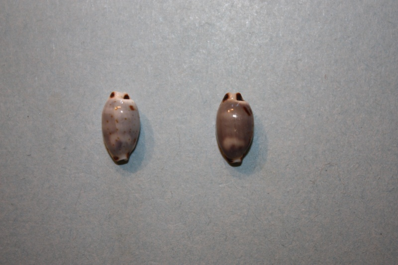 Bistolida hirundo hirundo - (Linnaeus, 1758) Bistol12