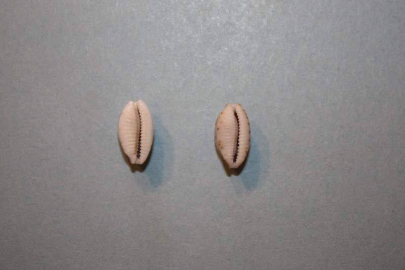 Bistolida hirundo hirundo - (Linnaeus, 1758) Bistol13