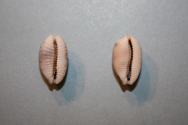 Bistolida hirundo neglecta - (J.E. Gray in G. B. Sowerby I, 1832) Bistol24