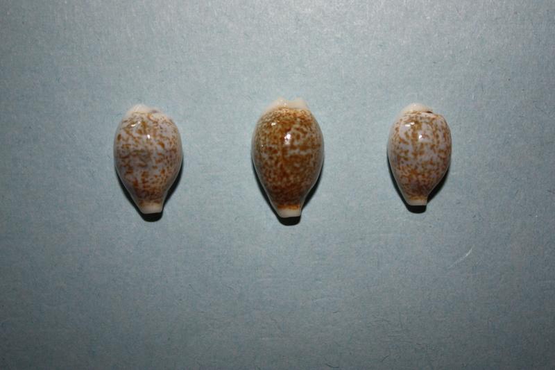 Eclogavena dayritiana mondejarorum - Petuch & R. F. Myers, 2014 Img_6517
