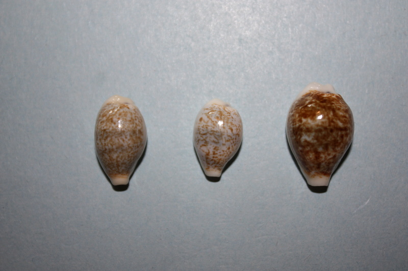 Eclogavena dayritiana mondejarorum - Petuch & R. F. Myers, 2014 Img_6520