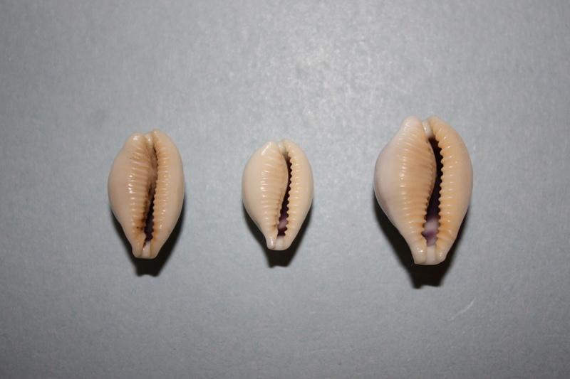 Eclogavena dayritiana mondejarorum - Petuch & R. F. Myers, 2014 Img_6521