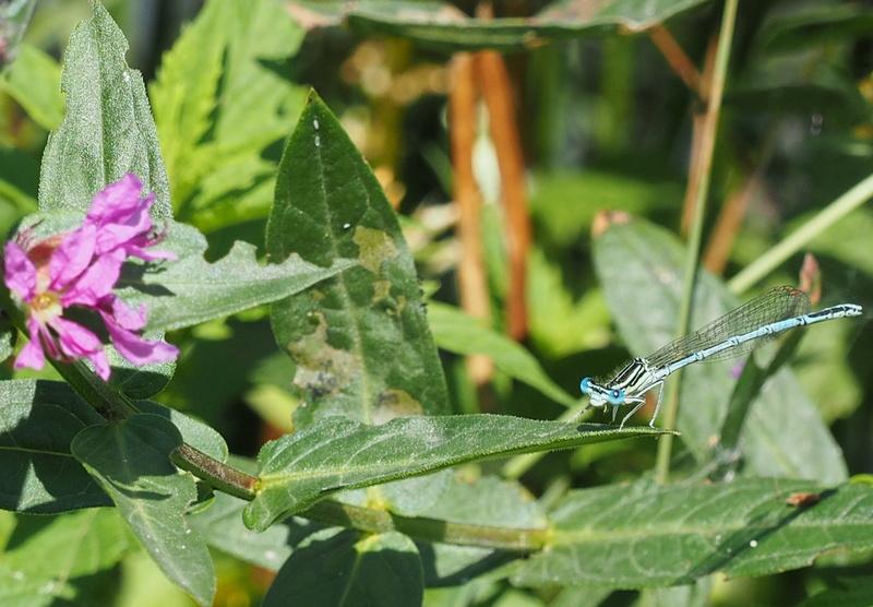 Ma  1ere libellule !! ( et la 2ème, et un papillon aussi !) Libell11