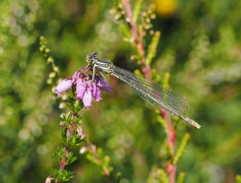 Ma  1ere libellule !! ( et la 2ème, et un papillon aussi !) Libell12