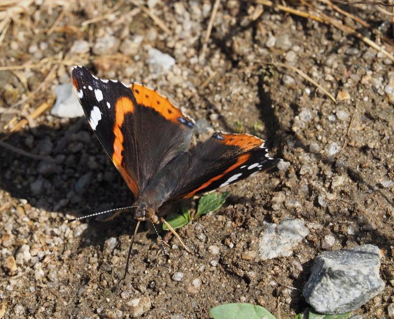 Ma  1ere libellule !! ( et la 2ème, et un papillon aussi !) Papill10