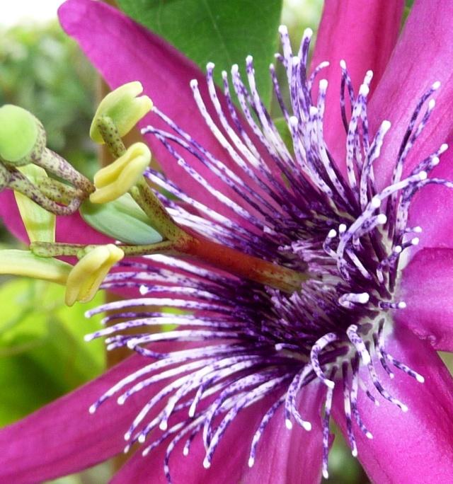 Passiflora 'Pura Vida N°2' 01-09-11