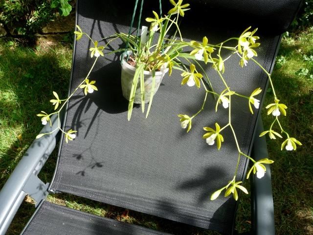 Encyclia tampensis alba 04-08-13