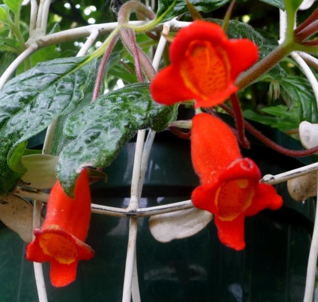 Seemannia nematanthodes 'Evita' 04-10-13