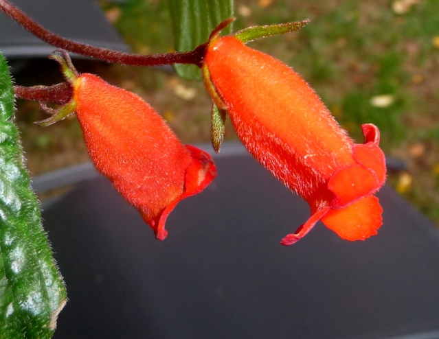 Seemannia nematanthodes 'Evita' 04-10-15
