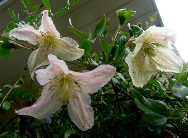 Clematis cirrhosa 'Winter Parasol' 04-10-16