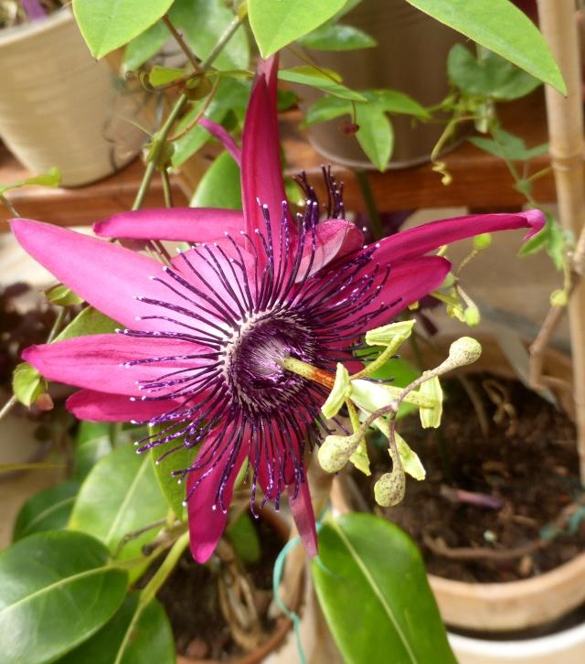 Passiflora 'Pura Vida N°2' 11-06-29