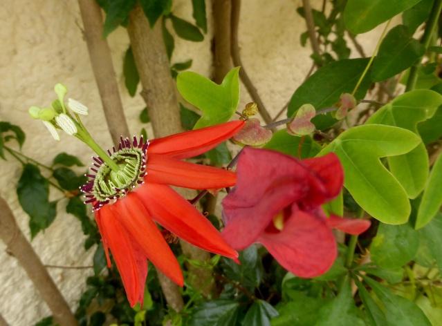 Passiflora 'Pura Vida N°2' 11-06-30