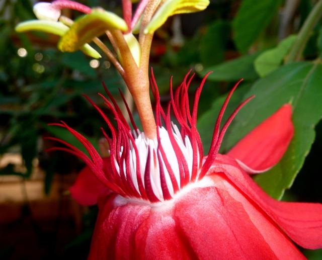 Passiflora vitifolia 27-08-12