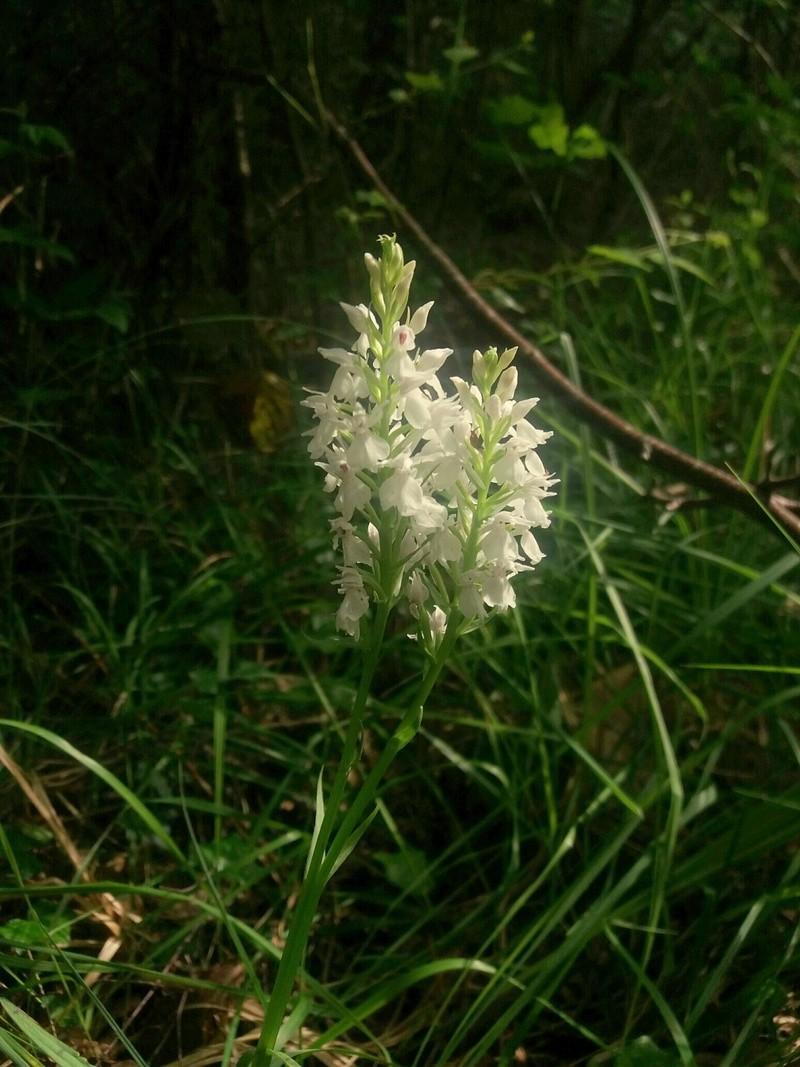 Lusus sur Dactylorhiza maculata v ericetorum 20160611