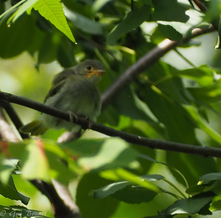Jeune de quelle espèce s.v.p.? P7290110