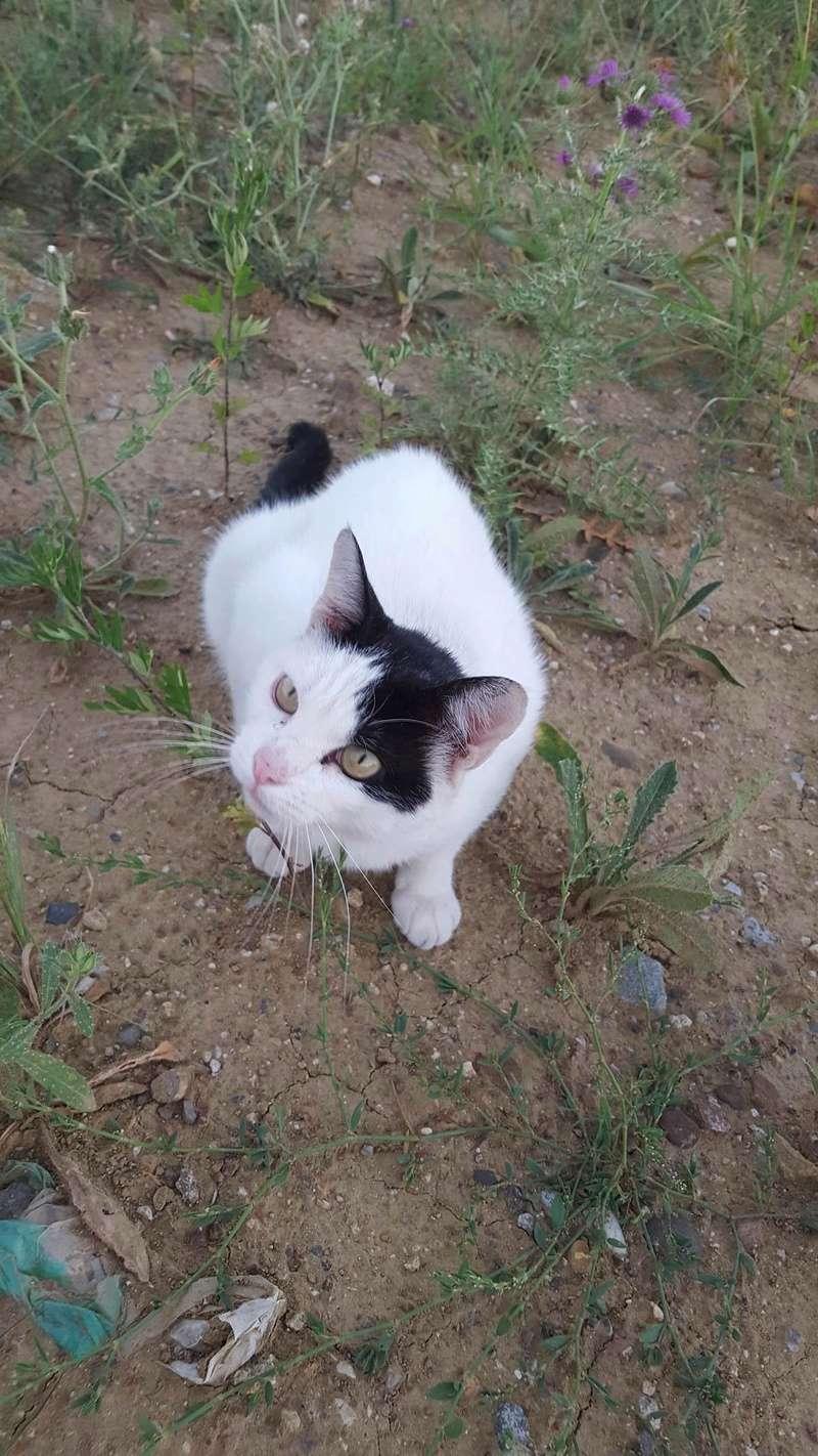 Trouvé chat noir et blanc à Cornebarrieu 13950710
